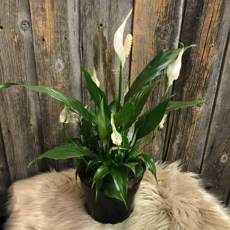 Peace Lily Plant-6