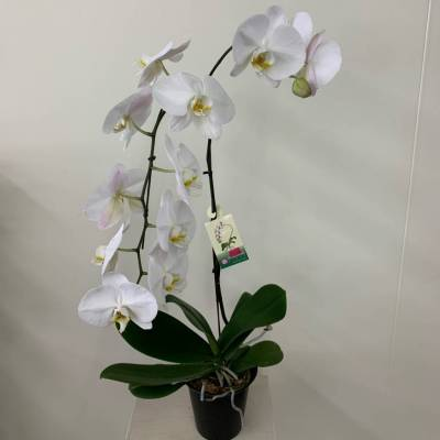 """6"""" Orchid"""