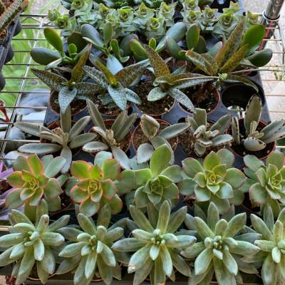 2 1/2in Succulent Variety