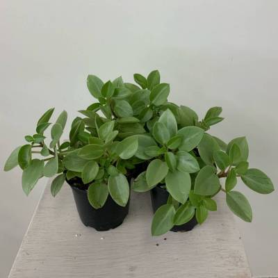 4in Peperomia, Pixie